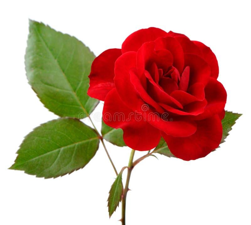 Piękna rewolucjonistki róża z liśćmi na Białym tle zdjęcia stock