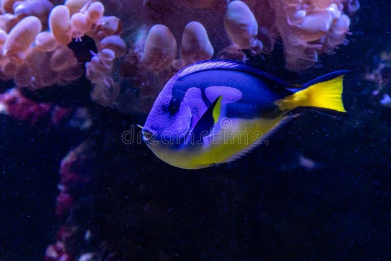 Piękna rybia Królewska blaszecznica zdjęcie stock