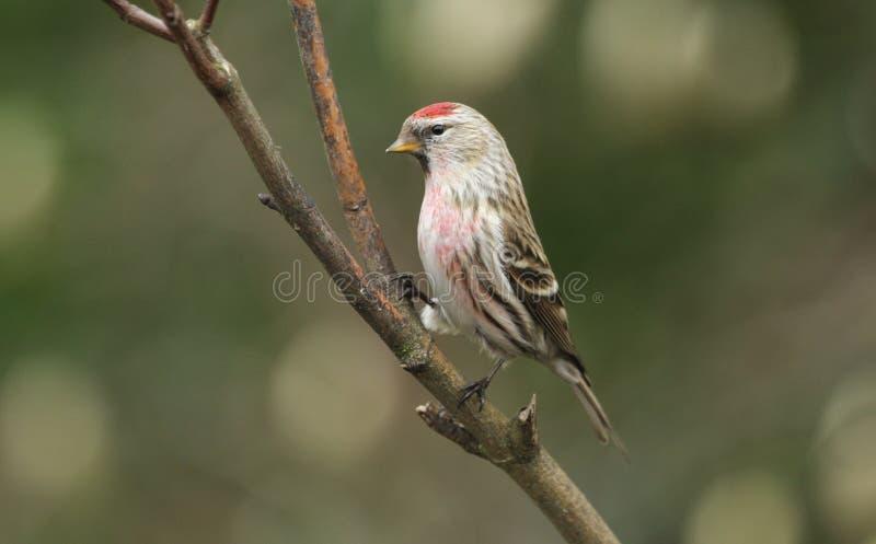 Piękna samiec Lesser czeczotka, Carduelis kabaret, umieszczał w drzewie zdjęcie stock