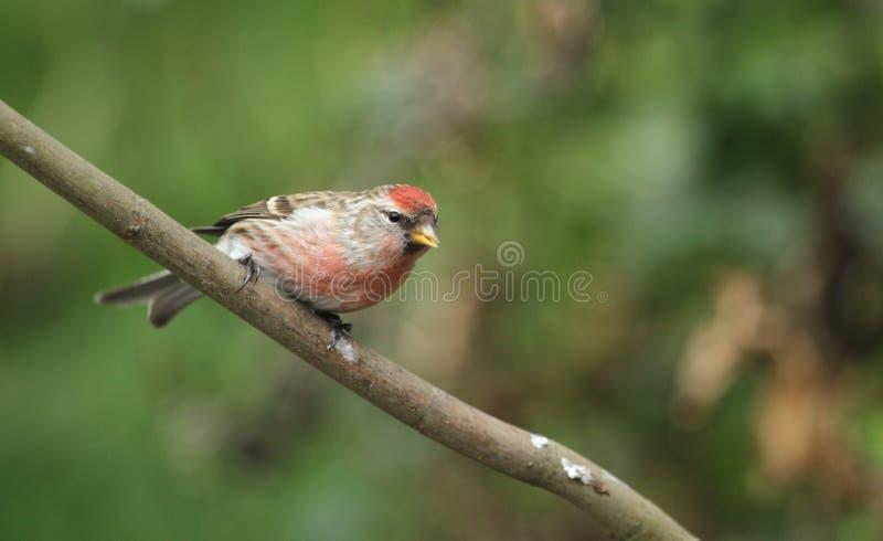 Piękna samiec Lesser czeczotki Carduelis kabaret umieszczał w drzewie zdjęcie royalty free