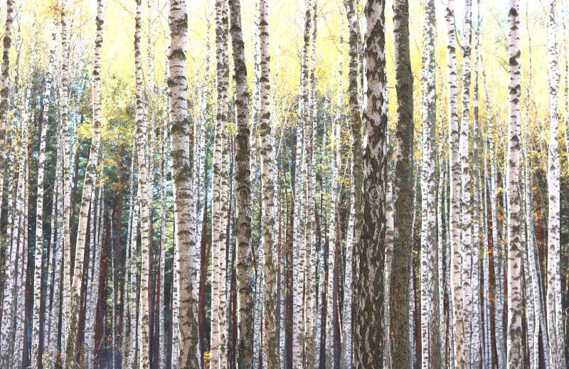 Piękna scena z brzozami w żółtym jesieni brzozy lesie fotografia royalty free