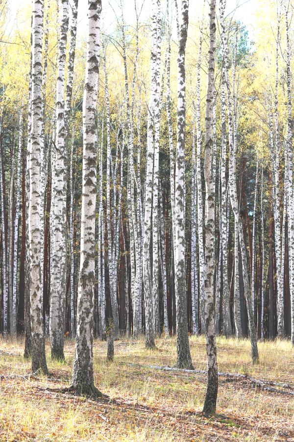 Piękna scena z brzozami w żółtym jesieni brzozy lesie obrazy stock