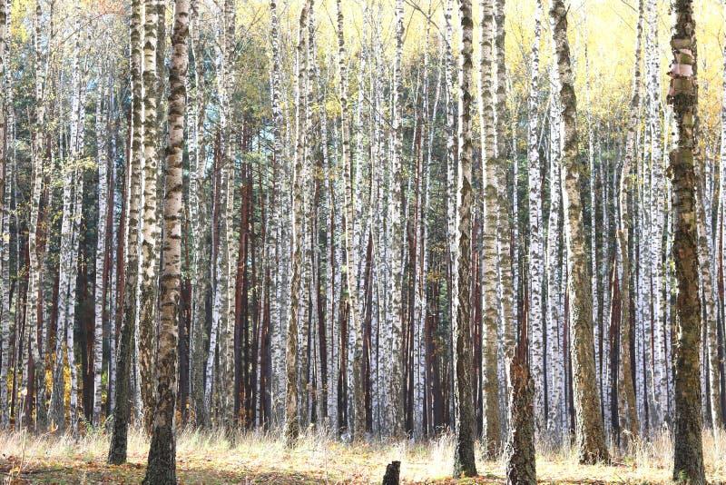 Piękna scena z brzozami w żółtym jesieni brzozy lesie obraz stock