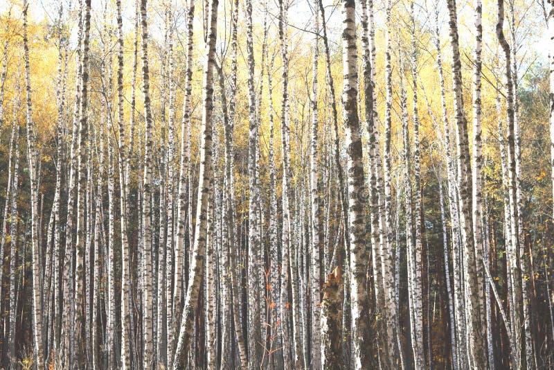 Piękna scena z brzozami w żółtym jesieni brzozy lesie zdjęcia stock