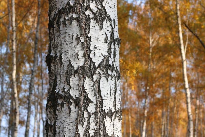 Piękna scena z brzozami w żółtym jesieni brzozy lesie fotografia stock
