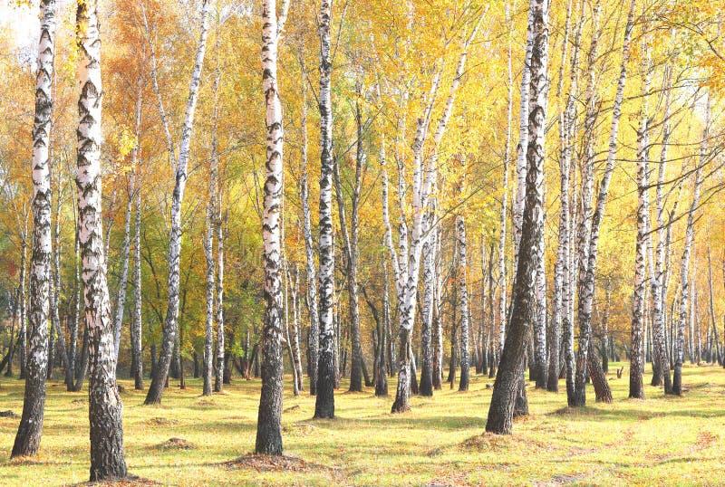 Piękna scena z brzozami w żółtym jesieni brzozy lesie w Październiku zdjęcia stock