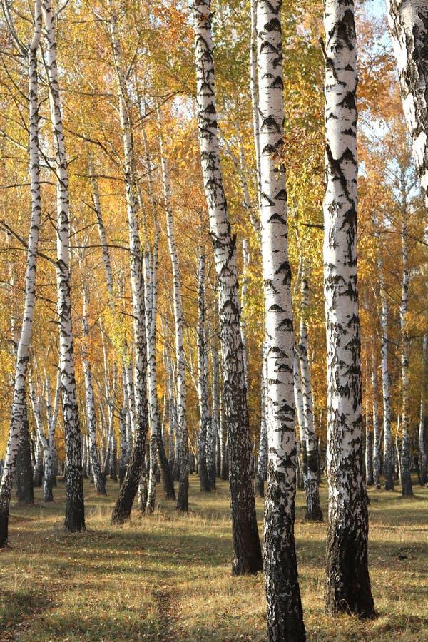 Piękna scena z brzozami w żółtym jesieni brzozy lesie w Październiku obrazy stock