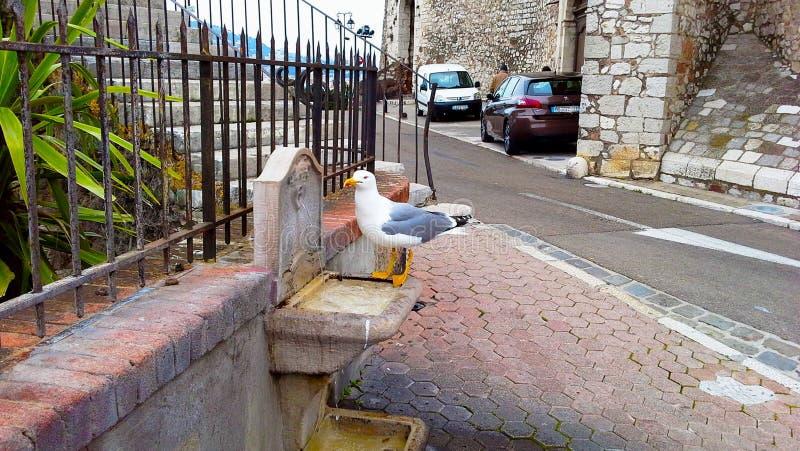 Piękna seagull woda pitna w starym miasteczku Cannes zdjęcie stock