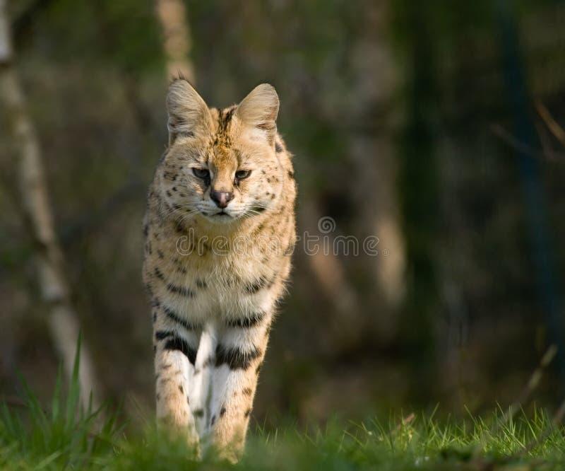 piękna serval zdjęcie stock