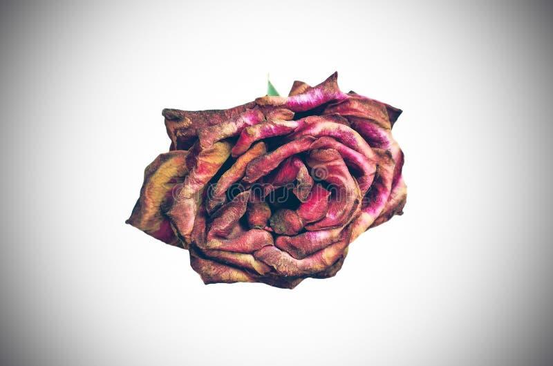 Piękna sucha czerwieni róża obraz stock