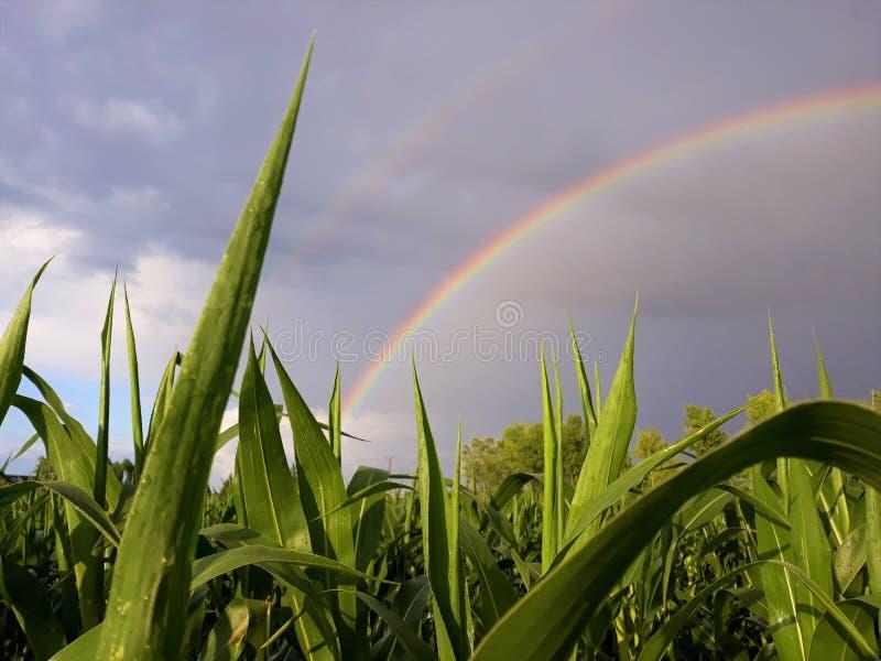 Piękna tęcza nad kukurudzy ziemią zdjęcia royalty free