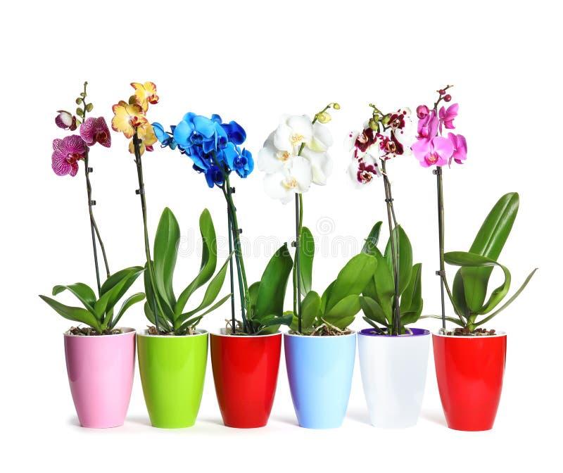 Piękna tropikalna orchidea kwitnie w garnkach fotografia royalty free