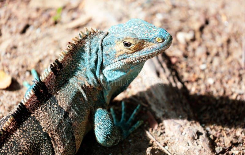 Piękna turkusowa iguana w Costa Rica dżungli podczas lata obraz stock