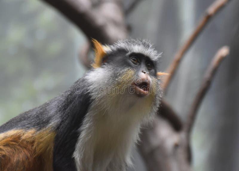 Piękna twarz Wilczy ` s Mona Małpi Siedzący puszek zdjęcie stock