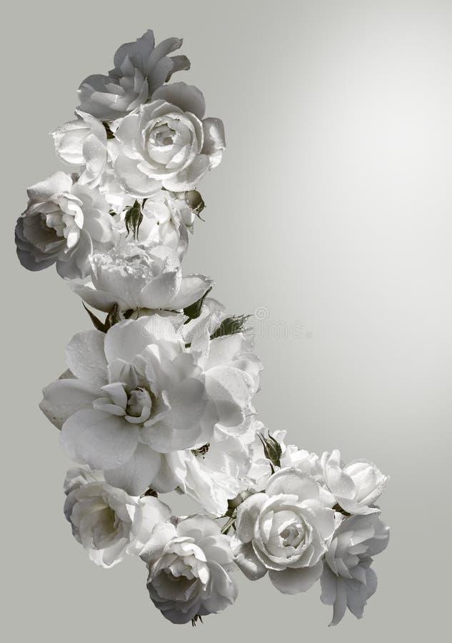 Piękna vertical rama z bukietem białe róże z podeszczowymi kroplami Czarny i biały tonowanie wizerunek obrazy stock