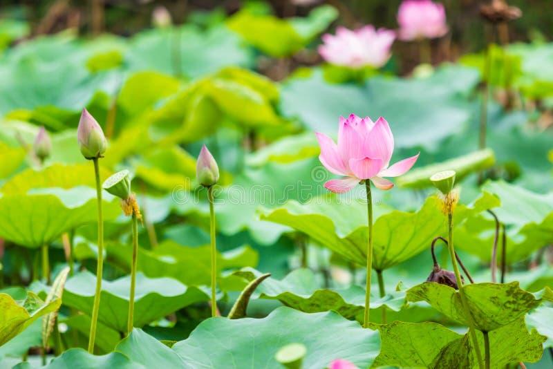 Piękna wodna leluja i liść zdjęcia stock