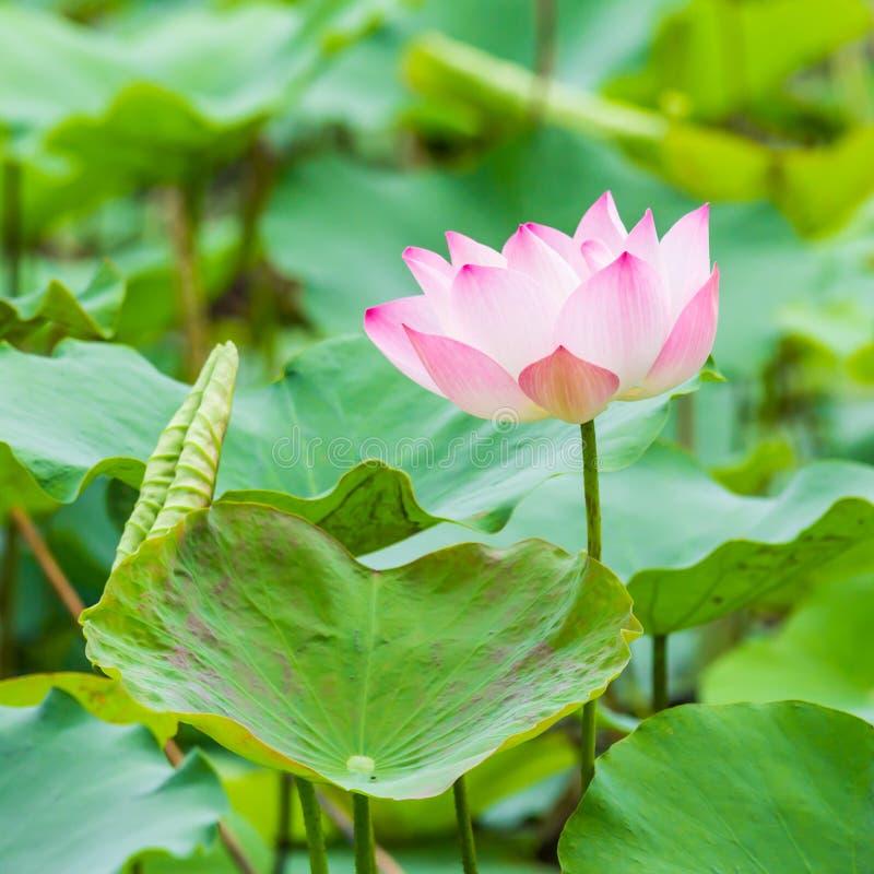 Piękna wodna leluja i liść obraz stock