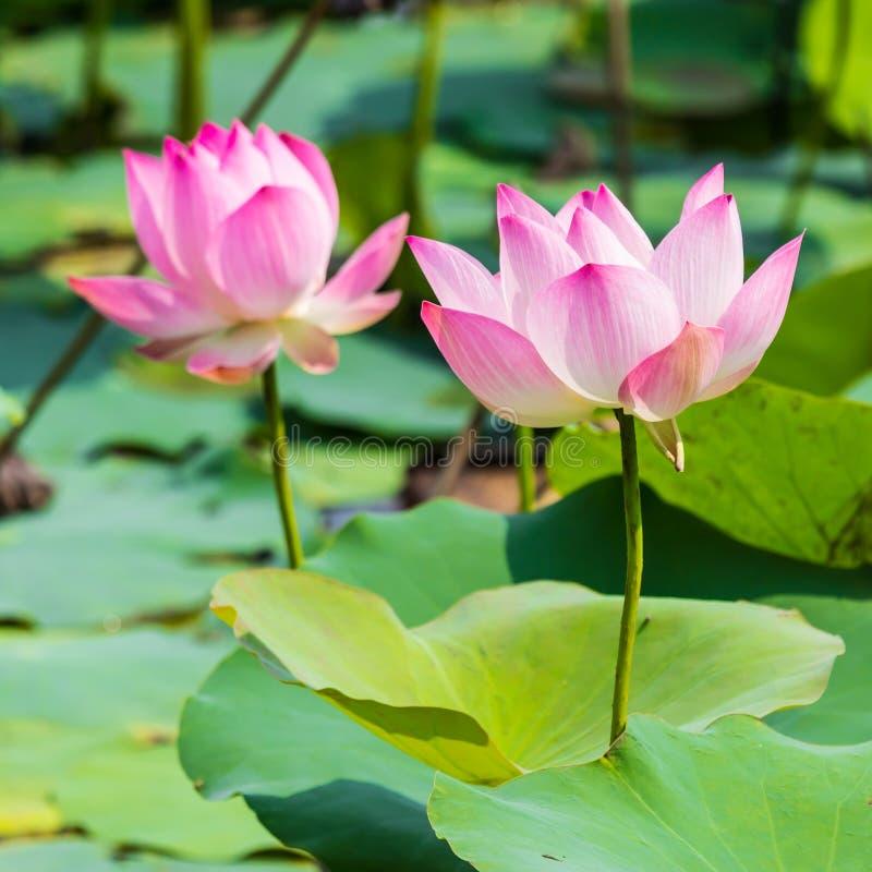 Piękna wodna leluja i liść zdjęcie stock