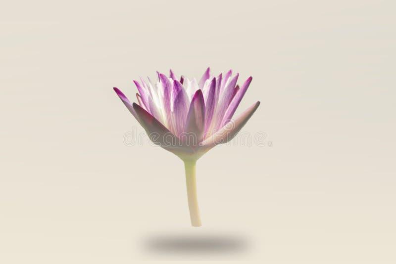 Piękna wodna leluja, Pojedynczy lotosowy kwiat odizolowywający z mgłą na białym tle fotografia stock