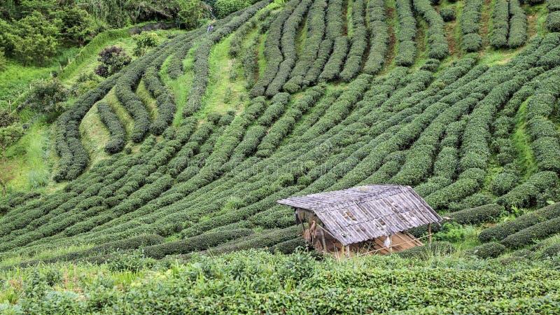 Piękna wysokiej góry zielonej herbaty plantacja zdjęcie royalty free