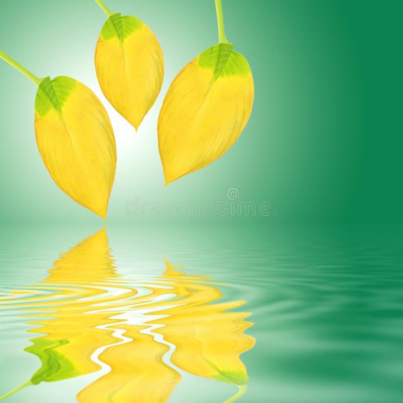 piękna złoty hosta liść zdjęcie royalty free