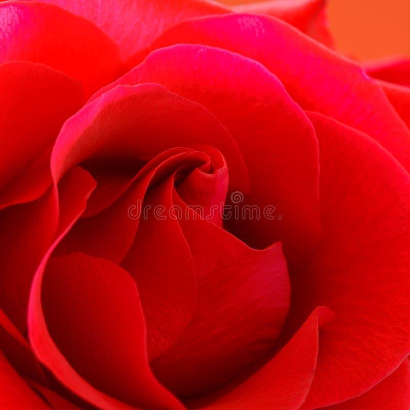 piękna zamknięta czerwień wzrastał zamknięty Makro- kwiatu tło obrazy royalty free