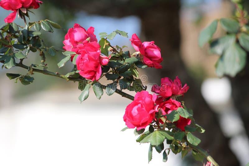 piękna zamkniętych kwiatów naturalne menchie wzrastali naturalny zdjęcia stock