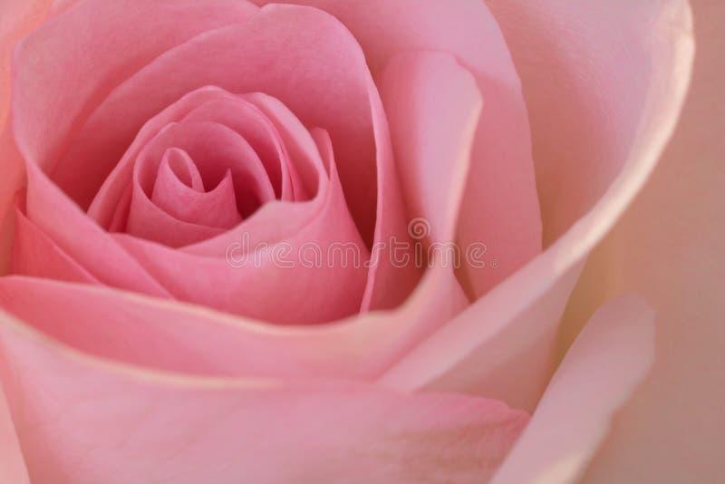 piękna zbliżenie różową różę obrazy stock