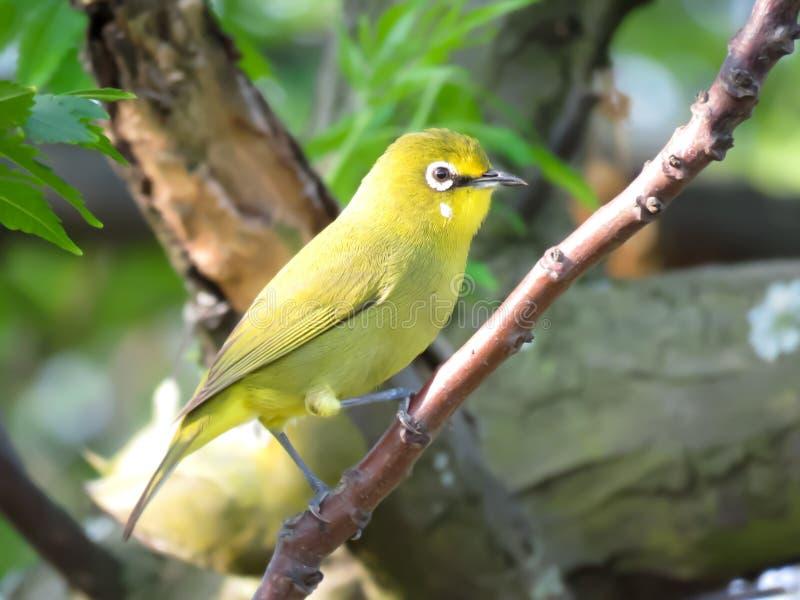 Piękna zieleń, żółty indyjski biały oko ptak/ zdjęcia stock