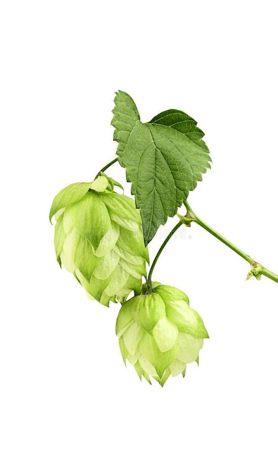 Piękna zieleń chmiel gałąź. zdjęcie royalty free