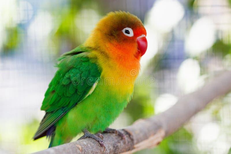Piękna zielona lovebird papuga fotografia royalty free
