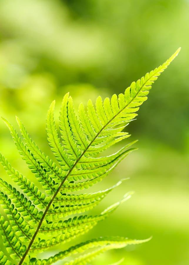 Piękna zielona paproć opuszcza ulistnienie w lesie zdjęcia royalty free