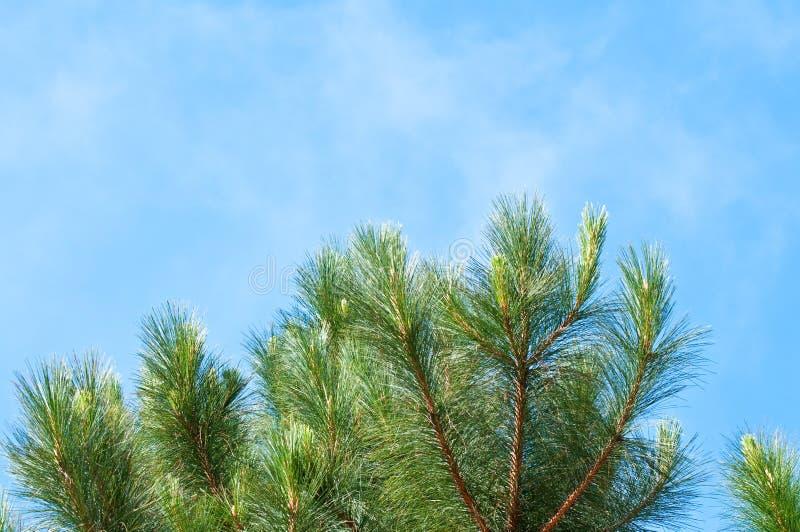 Piękna zielona sosna z niebieskim niebem zdjęcia stock