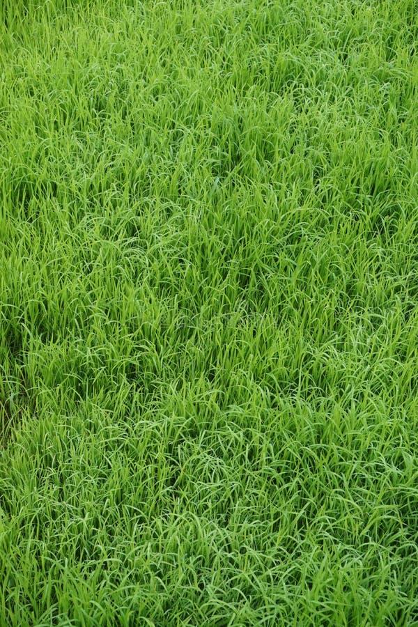 Piękna zielona trawa w ranku obraz royalty free