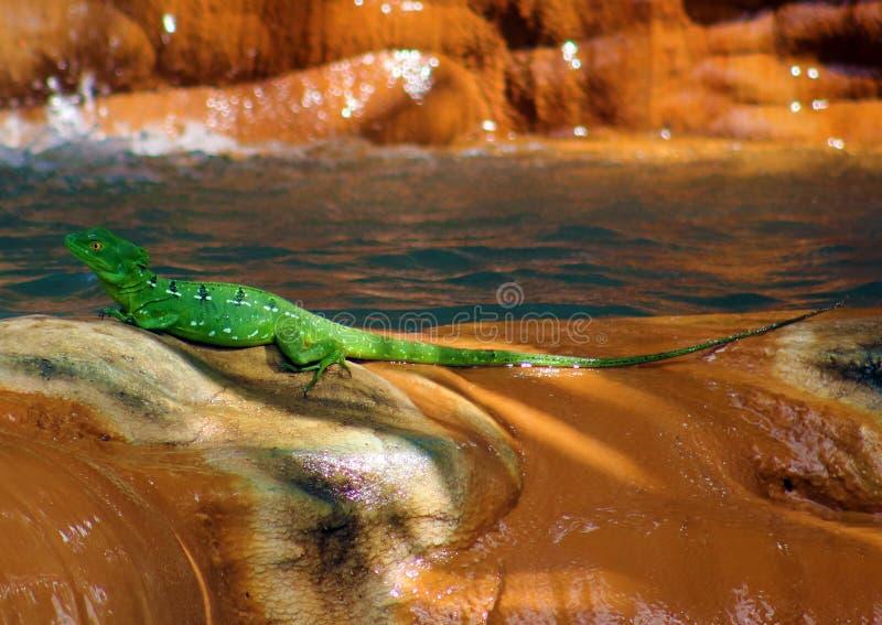 Piękna zielonej jaszczurki iguana pod siklawą obrazy stock