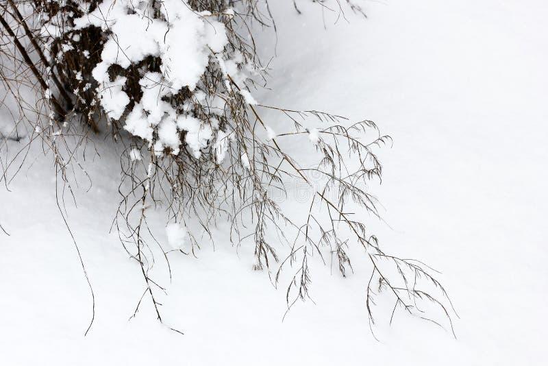 Piękna zima Roślina w śniegu obraz stock