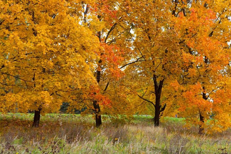 Piękne żółte drzewa w jesiennym dniu 02 11 2019 r. zdjęcie royalty free