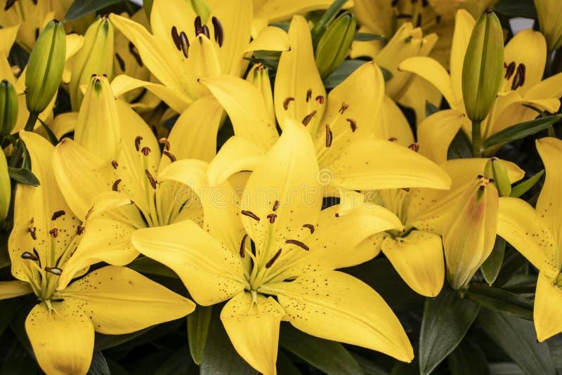 Piękne żółte leluje w parku obrazy stock