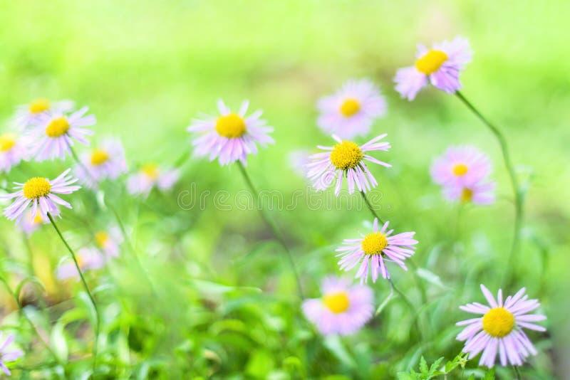 Piękne Alpejskie stokrotki, astery w lecie w kwiatu łóżku na zielonym tle Lawenda asteru Alpejski kwiecenie zdjęcie stock