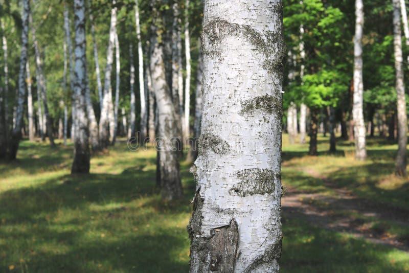Piękne białe brzozy w brzoza gaju obraz stock