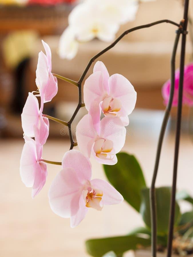 Piękne białe purpur menchii orchidee zdjęcie royalty free