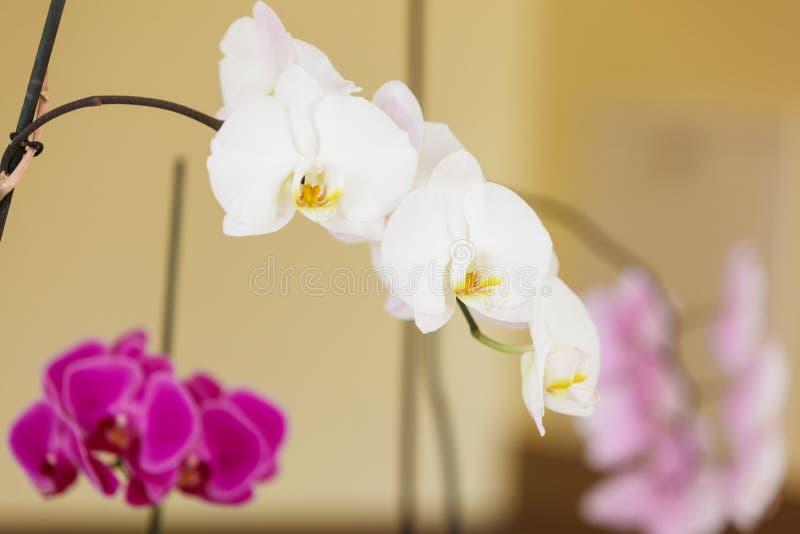 Piękne białe purpur menchii orchidee obrazy royalty free