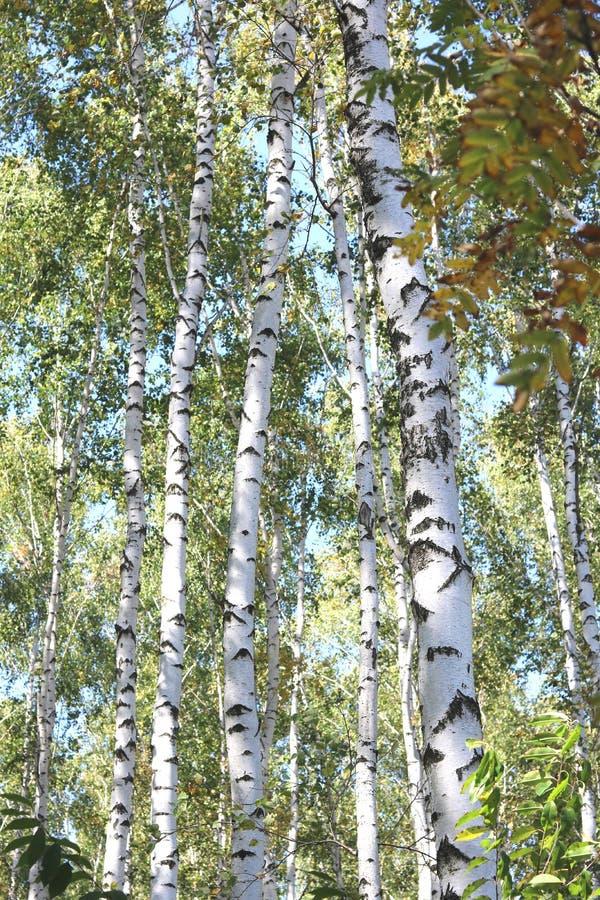Piękne brzozy w wczesnej jesieni obraz stock