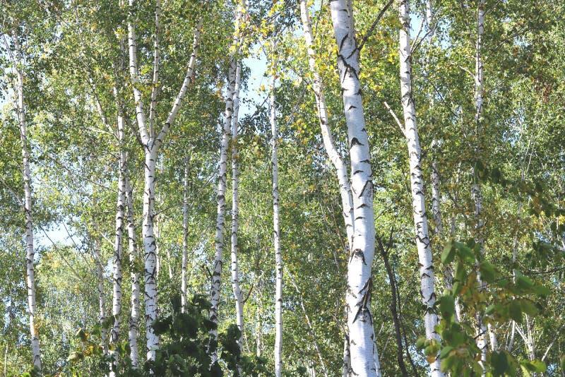 Piękne brzozy w wczesnej jesieni zdjęcie stock
