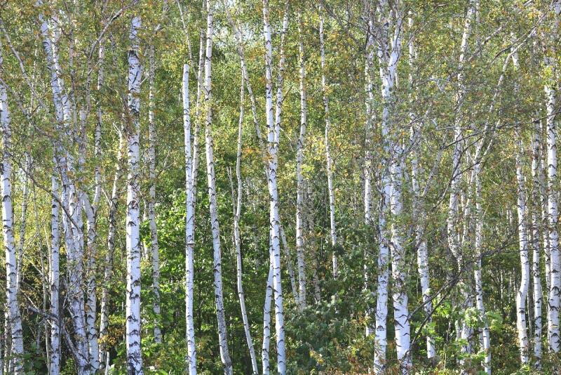 Piękne brzozy w wczesnej jesieni obrazy royalty free