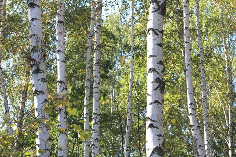 Piękne brzozy w wczesnej jesieni obraz royalty free