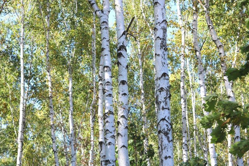 Piękne brzozy w wczesnej jesieni zdjęcia royalty free