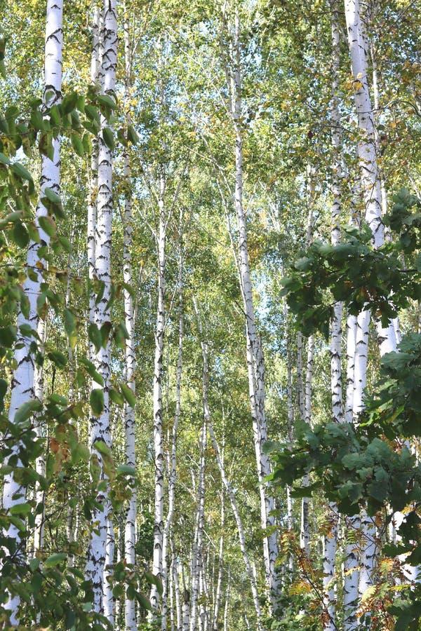 Piękne brzozy w wczesnej jesieni fotografia stock