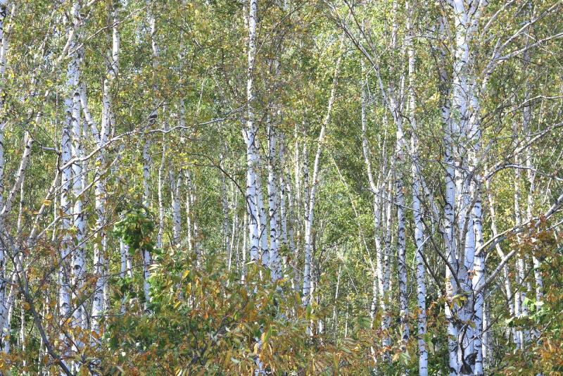 Piękne brzozy w wczesnej jesieni zdjęcia stock