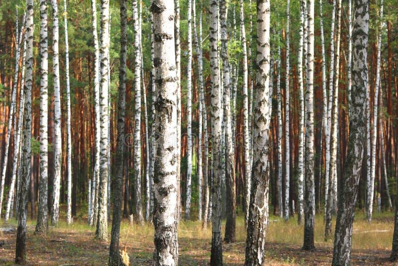 Piękne brzozy w wczesnej jesieni obrazy stock